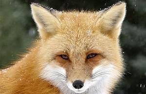 NATURE: Fox Tales | KPBS  Fox