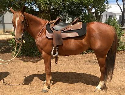 Horse Quarter Chestnut Gelding Horses Reckless Gettin