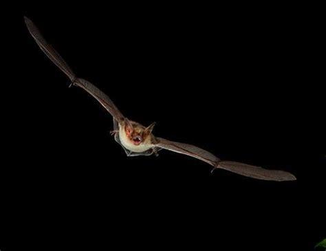 lesser horseshoe bat life expectancy