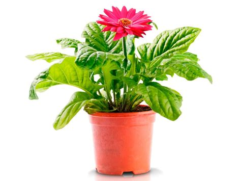 gerbera in pots cleaning indoor air with plants hgtv