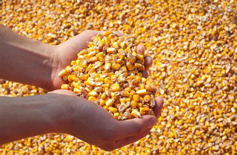 Maize: Short Cycle, but Huge Potential