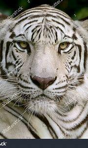 White Tiger Head Focus Face Eyes Stock Photo 355492013 ...