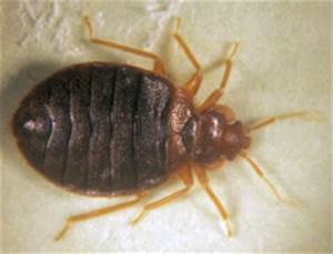 top 5 pests in alberta homes renovationfind With bed bugs calgary