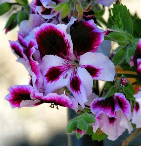 how to propagate scented geraniums 526 best my favourite flower images on pinterest container garden flower and gardening