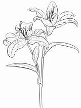 Coloring Pages Flower Lily Lilies Flowers Printable sketch template