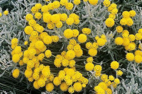 lavender cotton lavender cotton flower home growing tips