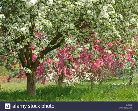 flowering fruit trees at rhs garden at wisley