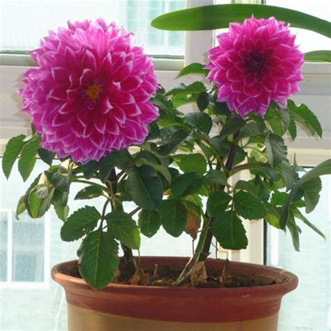 dalia in vaso saiba como plantar d 225 lia em vasos plantasonya o seu