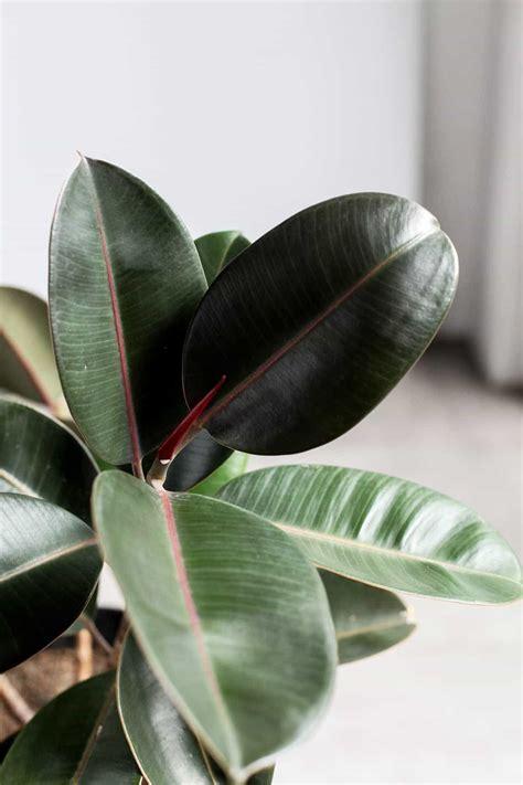 Rubber Plant | Indoor Plants Philippines | Tierra Plants