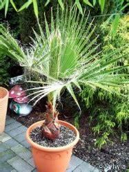 Kentia Palme Braune Blätter : kalifornische f cherpalme ~ Watch28wear.com Haus und Dekorationen