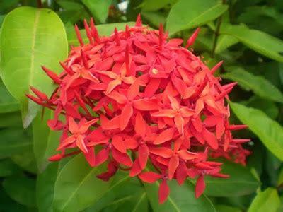 macam macam bunga hias populer indonesia ayo