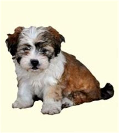 teddy for sale shichon teddy puppies for sale in de md ny nj