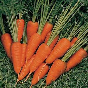 Carrot Burpees Short N Sweet Seeds From Mr Fothergill U0026 39 S