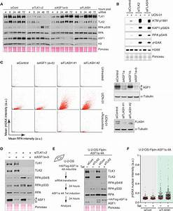 Tousled-like kinases stabilize replication forks and show ...