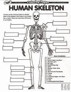 human anatomy muscles human body worksheets for kids for ...