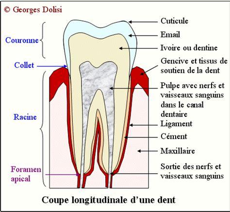 schema d une le schema d une dent