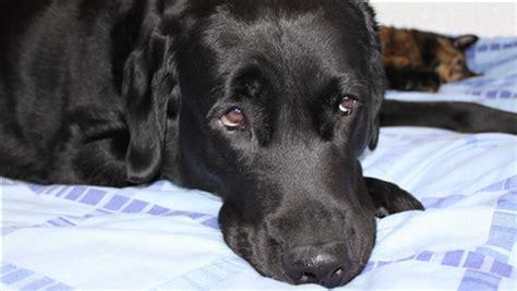 sad face  black dog hd wallpapers