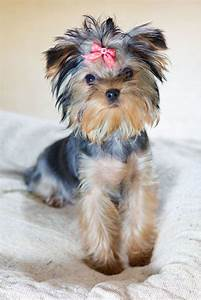 Image Gallery Cute Yorkies