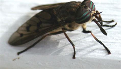 du bruit de la cuisine mouches à chevreuil 10 trucs contre les taons