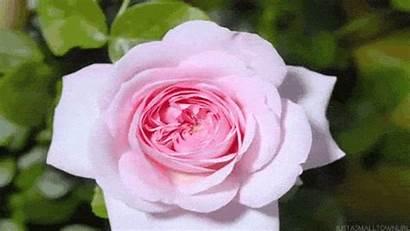 Rose Animation Scraps Decent Blooming Flower Flowers
