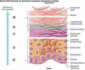 Is The Third Layer Of The Epidermis The Basement Membrane