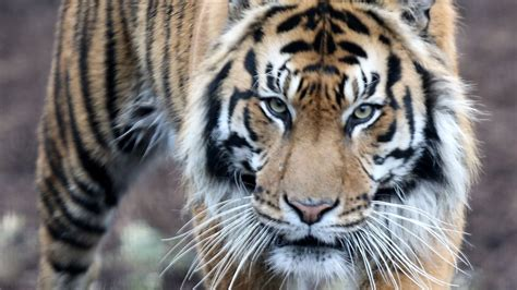 dangerous cat most breed own jungle welcome tim tiger whitby getty
