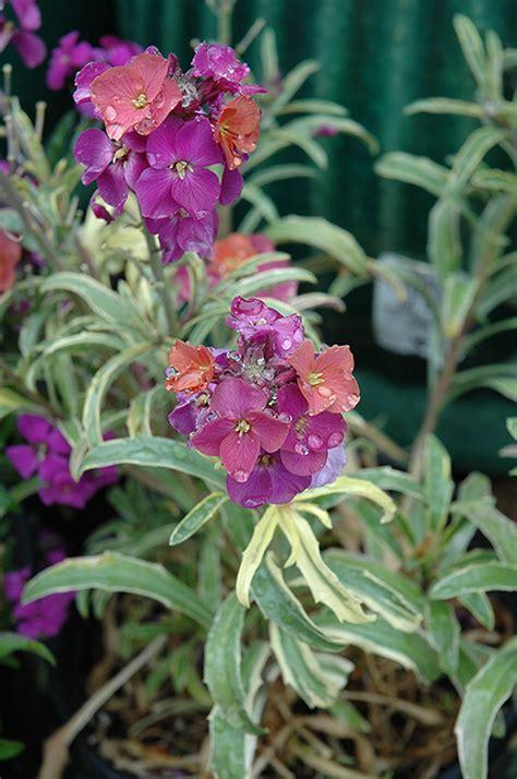 variegated wallflower erysimum plants plant flowers linifolium variegatum nursery garden nc summerfield washington carolina salem seattle wa newgarden
