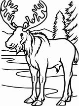 Moose Coloring Forest Animal Animals Deciduous Temperate Printable Wild Adult Superior Getcolorings Amy Sheets Host sketch template