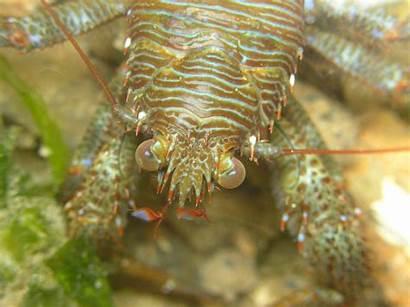 Shrimp Animal Wallpapers Hipwallpaper