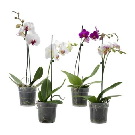 orchid plant phalaenopsis potted plant ikea