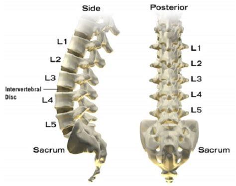 Lower Lumbar Spine Vertebrae Pictures