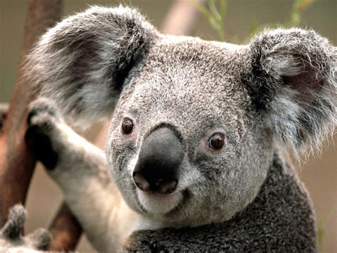 Koalas. Not Your Average Bear