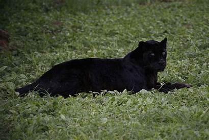 Leopard Kenya Bagheera Pet Photographed York Ol