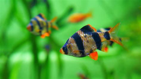 barb fish characteristics habitats types