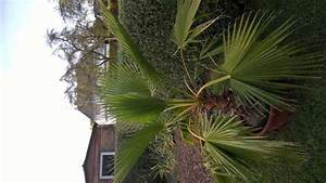 Welche Erde Für Palmen : welche palme ist das seite 1 palmen ~ Watch28wear.com Haus und Dekorationen
