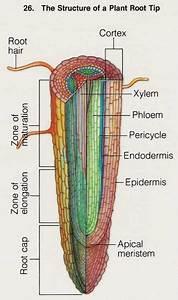 Plant Root Anatomy