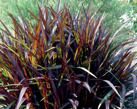 purple grass princess purple fountain grass pennisetum purpureum proven winners