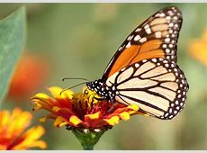 Spotting the 1st monarch butterfly of the year Nature