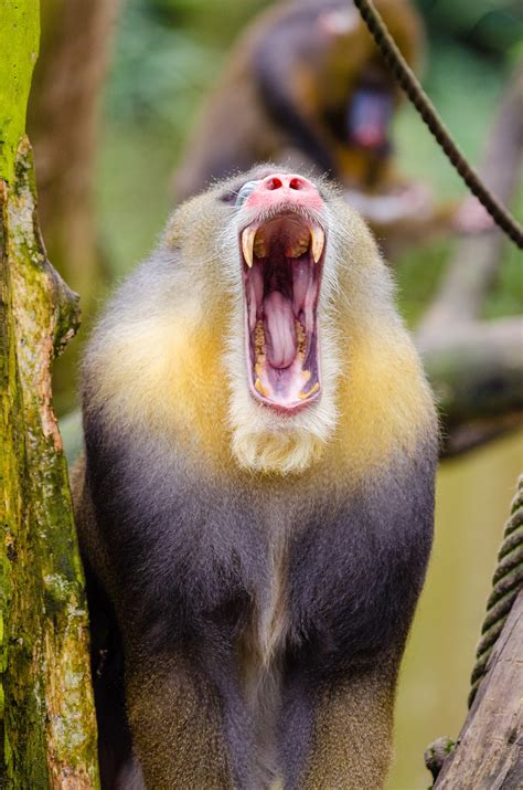 white coated baboon  stock photo