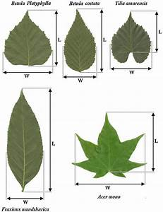 Diagram Of Leaves Showing The Positions Of Length And