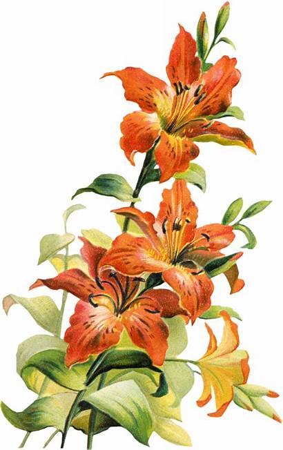 Lily Tiger Flower Clip Clipart Botanical Sheet