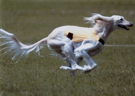 rs for dogs saluki breeders in spain pets