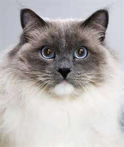 most popular cat breeds most popular cat breeds ragdoll