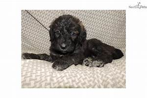 Shepadoodle puppy for sale near Columbia, South Carolina ...