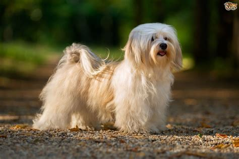 Havanese Dog Breed Facts Highlights And Buying Advice