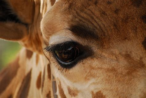 17 Best Images About Giraffe On Pinterest Eyes Zoos And