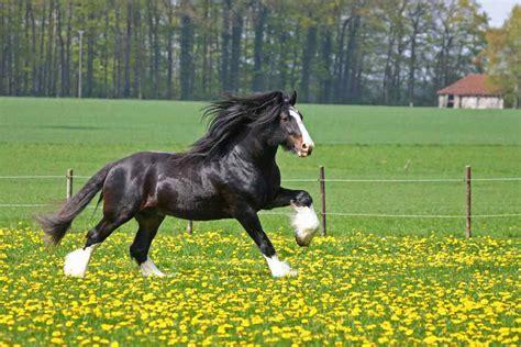 Horse Breed Shire Horse  Horse Riding Holidays And Safaris