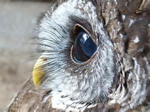 Beautiful Owl Close Up