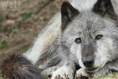 Wolf State Pack Wa Kill Cattle Opt