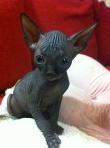 baby hairless cats sphynx baby i cats but im s sucker for baby animals